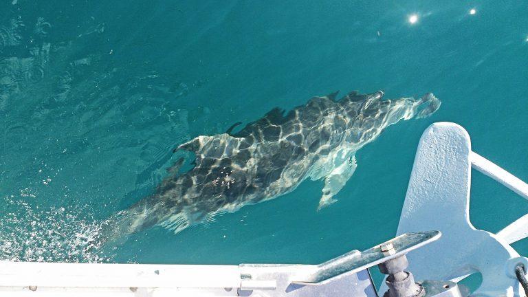 Delfín junto a la proa. Calpe - España.
