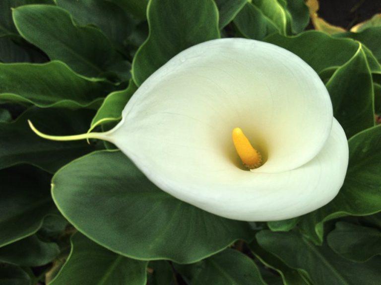 flor-del-lirio